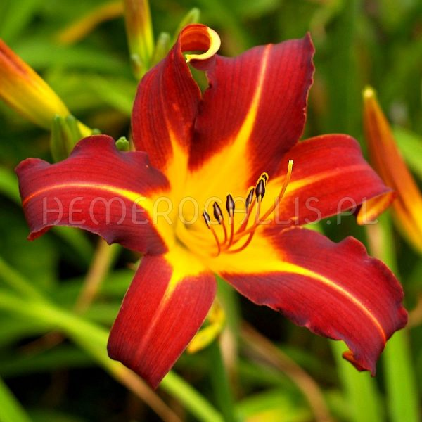 Hemerocallis 'Autumn Red'