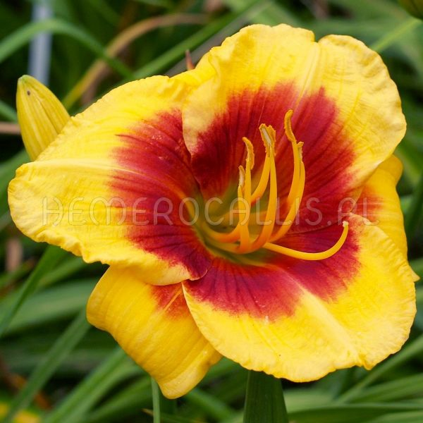 Hemerocallis 'Bold Red Eyes'